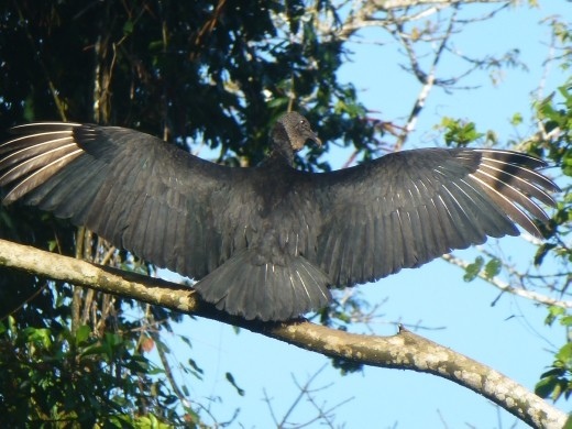 A vulture drying its wings.
