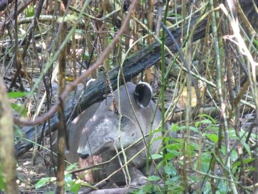 Our first tapir!