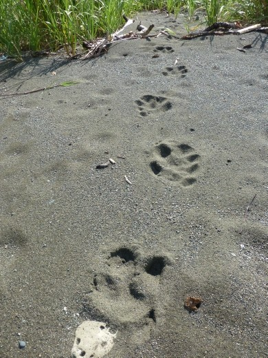 We followed these tracks to finall hunt down the tapir.