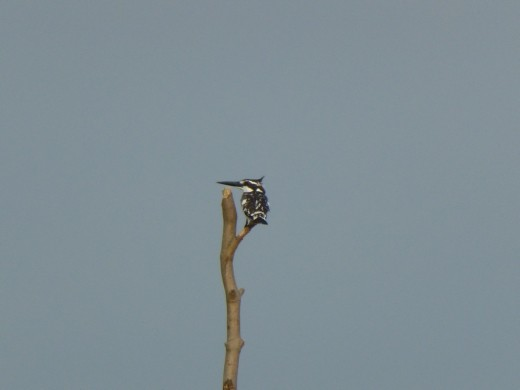 A pied kingfisher.