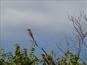 Emma was pleased to spot the Carmine bee-eater.: by steve_and_emma, Views[246]