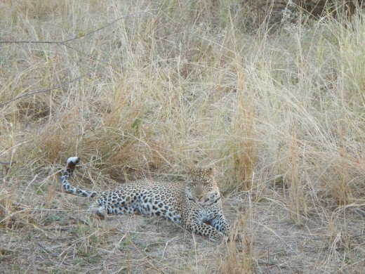 We have never got such a great view of the elusive leopard before.