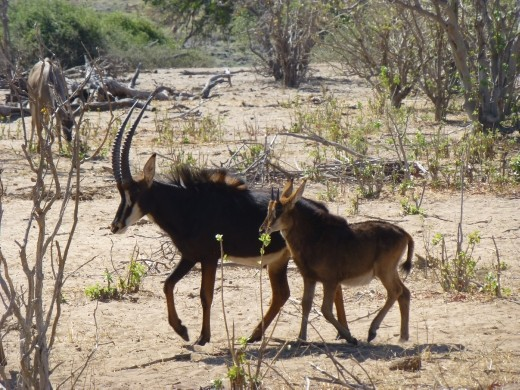 A couple of sable antelope.