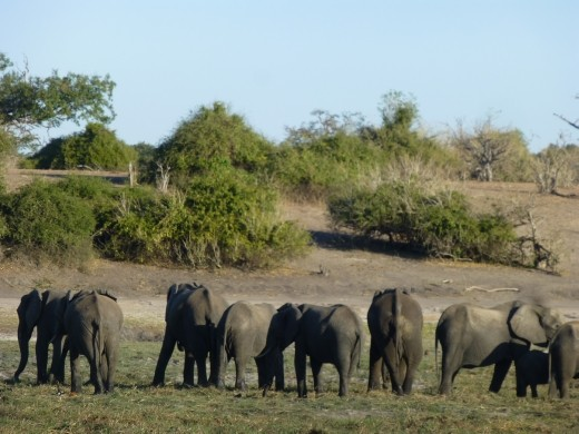 We saw hundreds of elephants in Chobe.