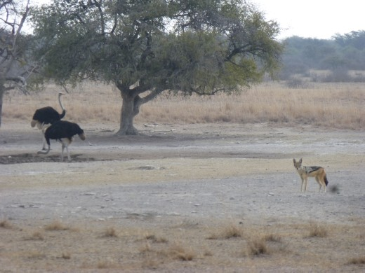 The Khama rhino sanctuary was not just about big grey horned things. (a jackal and ostrich for those not moved on from the farm yard animals yet!)
