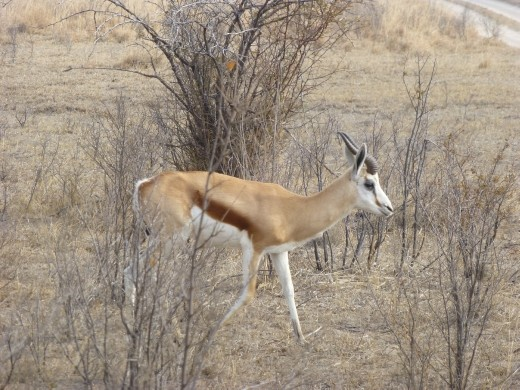 Our first sighting of a springbok.