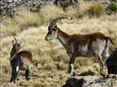 Wilia ibex family.: by steve_and_emma, Views[69]
