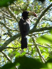 We saw lots of hornbills.: by steve_and_emma, Views[190]