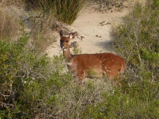The dunes provide refuge for a variety of wildlife such as this bushbuck.