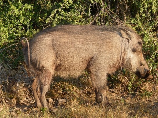 A warthog in Addo Elephants National Park.