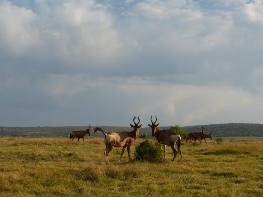 A family of hartebeest.
