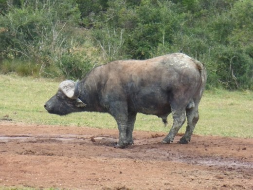 Addo is a 'big 5' national park. We spotted one of them having a drink at a watering hole.