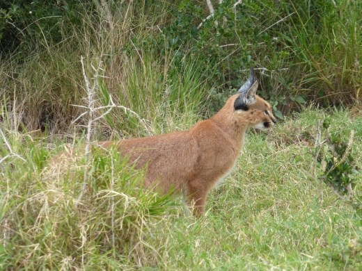 Our first sighting of a caracal.