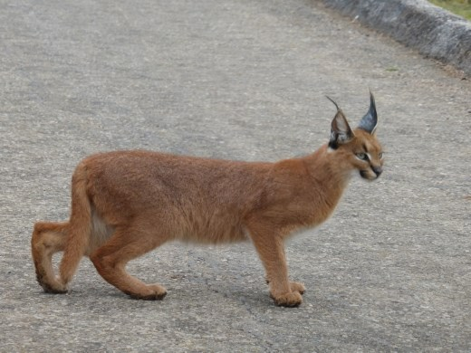 The caracal crossed the road right in front of us.