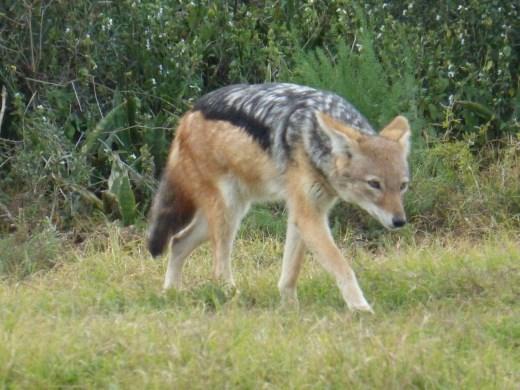 A black-backed jackal on the prowl.