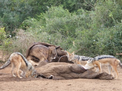 We watched a pack of 8 jackals feasting on the dead elephant.