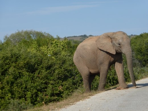 These giants rule the road around Addo!