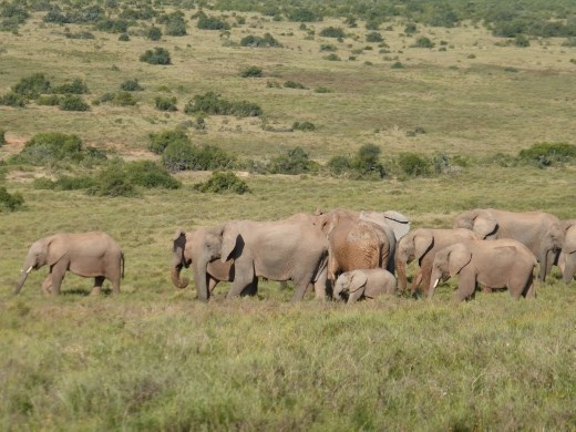 We must have seen about 200 elephants in one day in Addo.