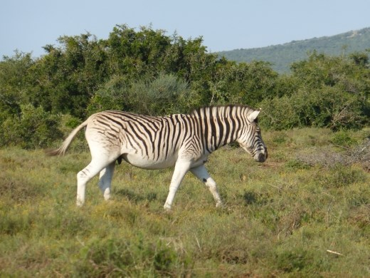 This is a Burchell's Zebra, with different stripes to the ones we saw in Mountain Zebra.