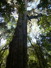 They call this 'big tree', wonder why?: by steve_and_emma, Views[243]