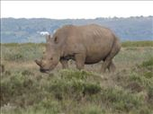 We spotted rhino as we drove along side a private game reserve on the way to Jeffrey's Bay.: by steve_and_emma, Views[228]