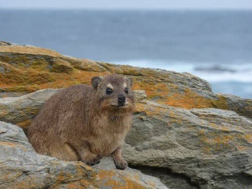 These lovely creatures were all over the rocks, well they are rock hyrax after all.