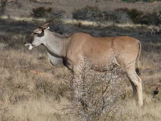 We got very close to the usually shy and elusive eland.