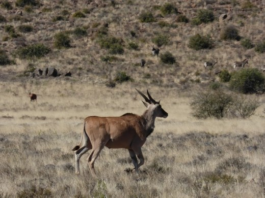 We spotted more eland on the hike.