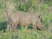 Yet another rhino!: by steve_and_emma, Views[218]