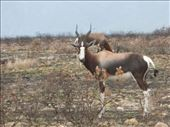 We saw quite a few of the rare Bontebok for which the park is named.: by steve_and_emma, Views[376]