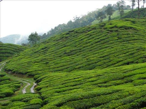 tea plantation in the cameron highlands, part 1