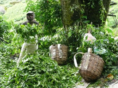 sorting tea leaves