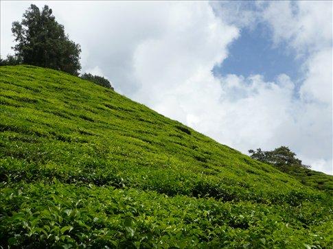 tea plantation in the cameron highlands, part 2