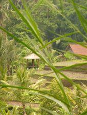 rice-paddies: by stinale, Views[244]