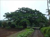 Banyan Tree: by stowaway, Views[2164]