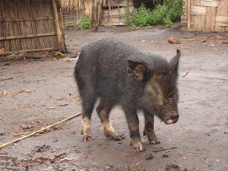 Pig, Yakel Traditional Village, Tanna, Vanuatu