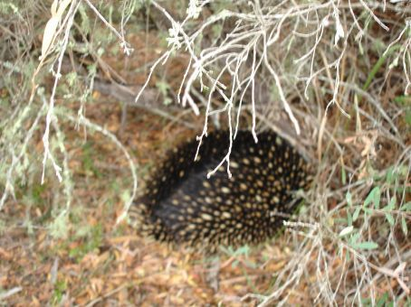 Echidna scurrying into the bush