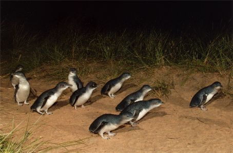 Fairy Penguins at the Phillip island Penguin Parade