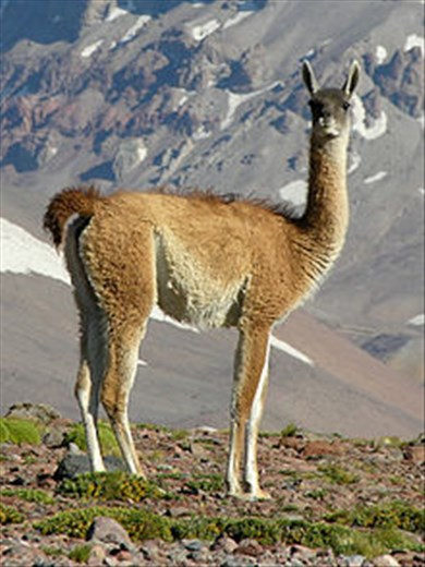 This is a rare animal seen during the drive to Puerto Madryn. It looks somewhat like a llama/alpaca, but is much less common.