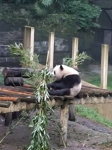Of course, the main attraction for everyone were the pandas. This was my favorite one of one of them chowing down on bamboo. Although there are over 50 varieties of bamboo, they only eat the arrow bamboo.