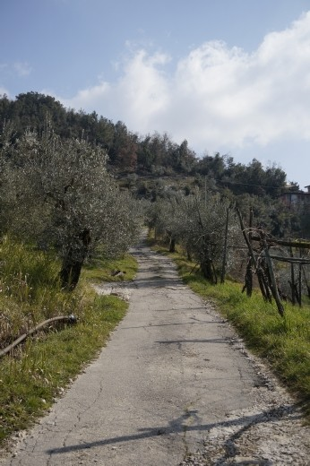 Vincenzo's olive trees
