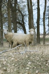 These sheep took one listen to my shutter click and ran off down the hill. Farm animals associate certain noises with guns, and my big lens probably payed no assurance.: by sydneyalexandra, Views[134]