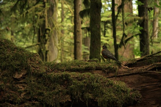 Robin in the Cathedral Forest