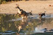Painted Dog Chase Kudu through the Waterhole