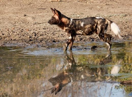 Painted Dog Reflection