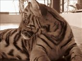 Pat and I got to play with tigers, 4 month old babies in their pens.: by tami-pat, Views[210]