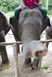 A friendly elephant interested in more than just the food I was feeding him.: by tania_vincent, Views[91]