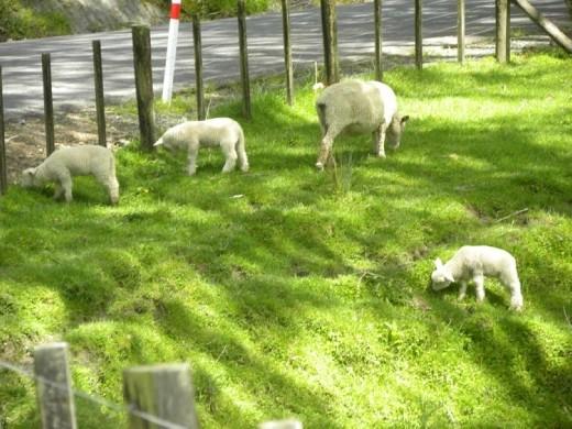 Lots of cute sheep!