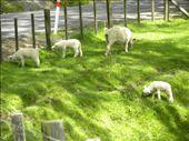 Lots of cute sheep!: by taylortreks, Views[88]