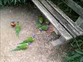 Rainbow lorikeets are aptly named. They're also good at dive bombing!: by taylortreks, Views[141]